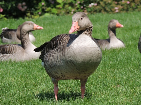 Grey and Black goose on Green Grass Field