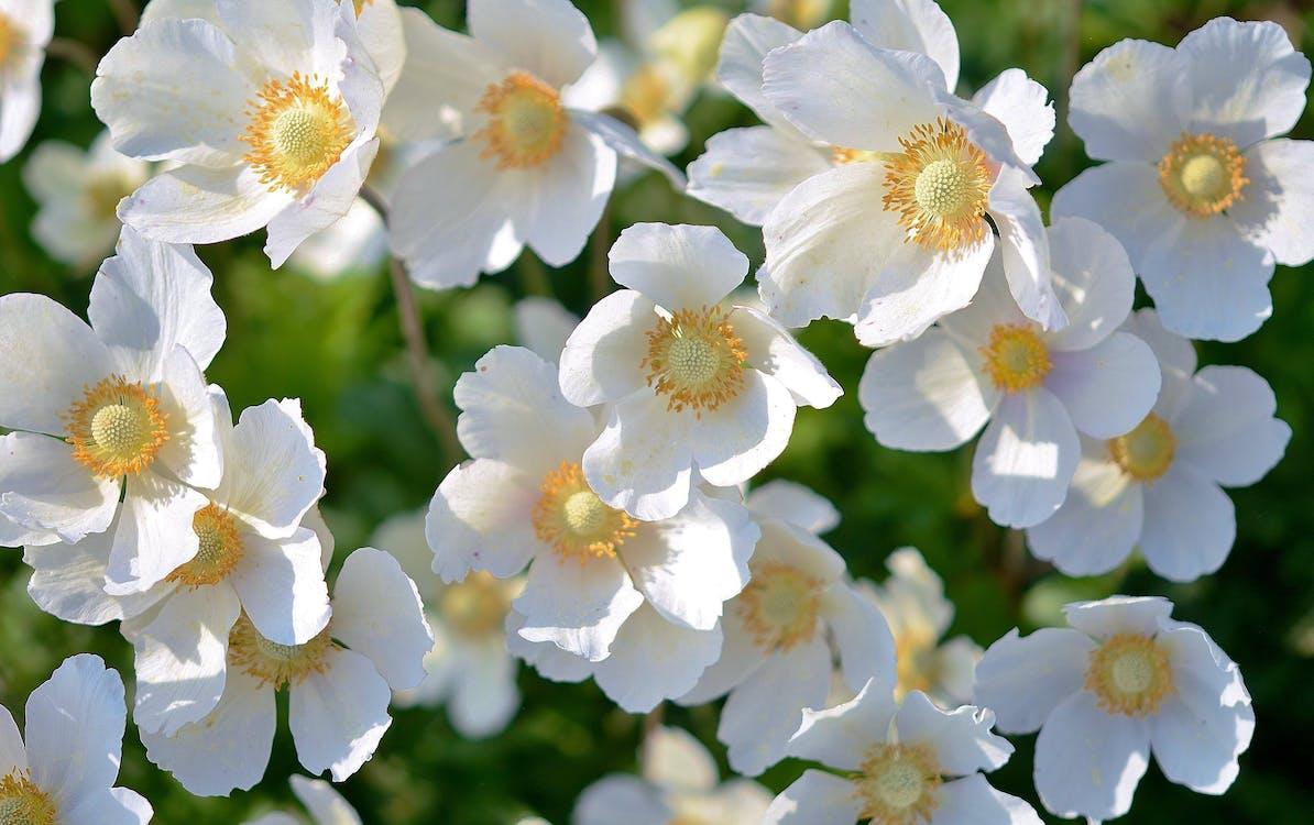 White 5 Petaled Flower