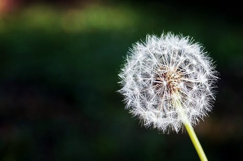 200 Beautiful Dandelion Photos Pexels Free Stock Photos