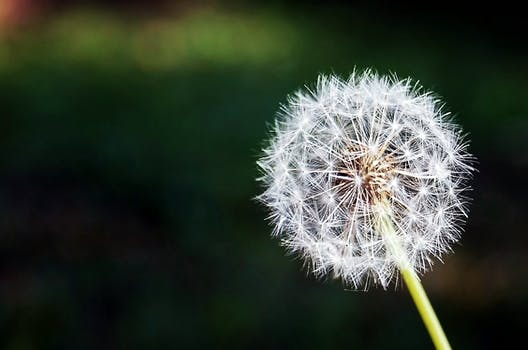 200 Beautiful Dandelion Photos Pexels Free Stock