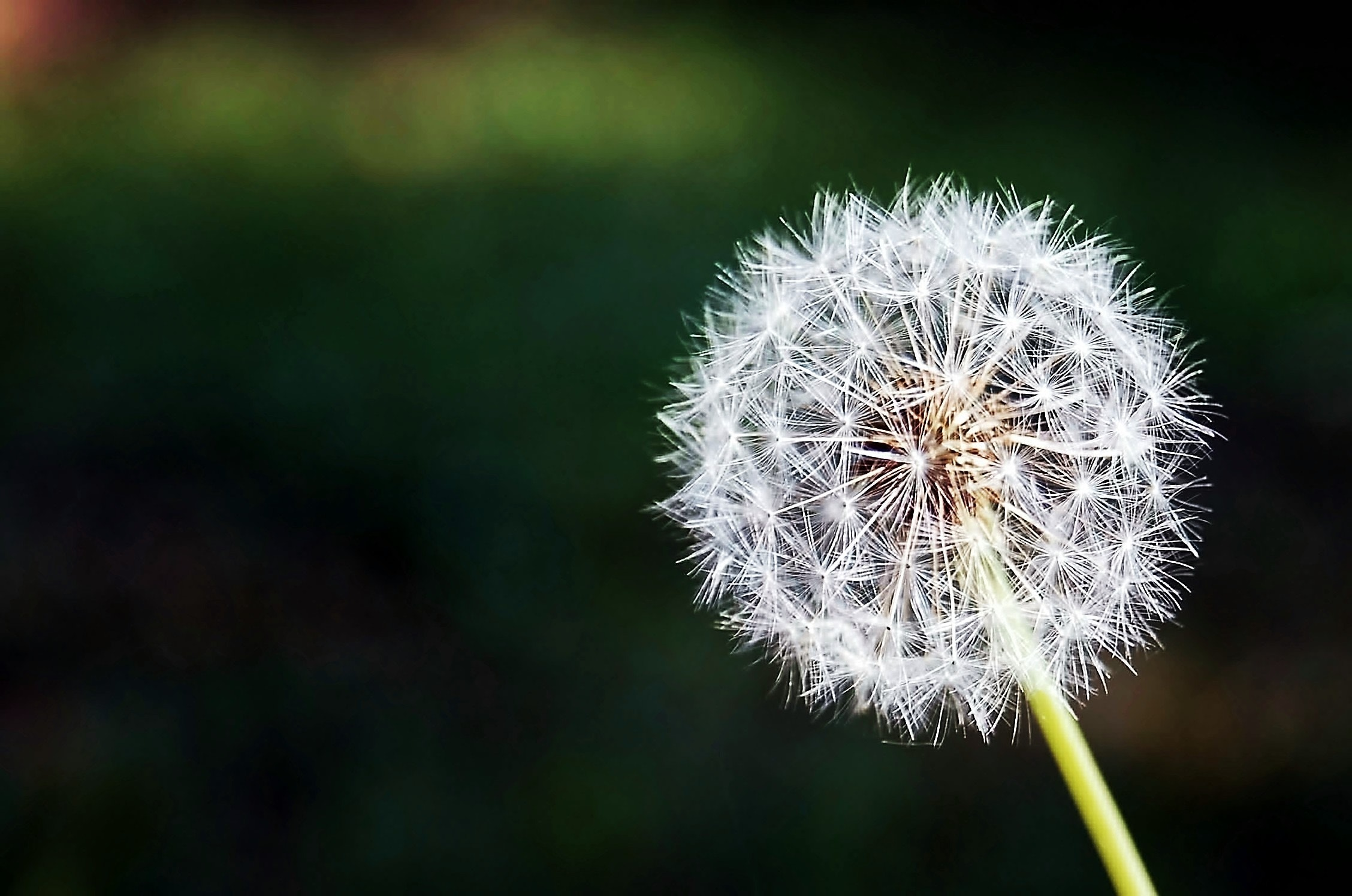200+ beautiful dandelion photos · pexels · free stock photos