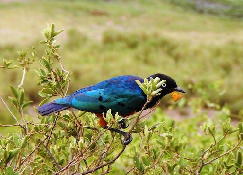 Black and Blue Bird