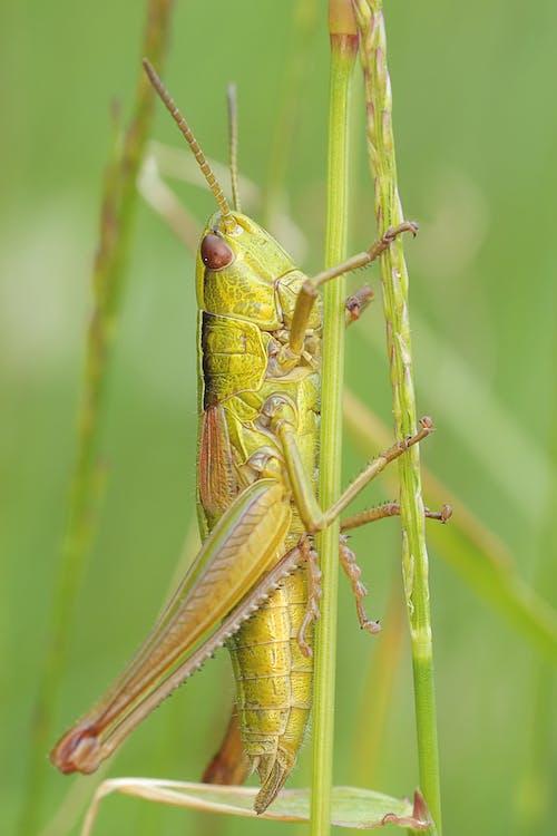 Δωρεάν στοκ φωτογραφιών με macro, ακρίδα, γκρο πλαν, έντομο