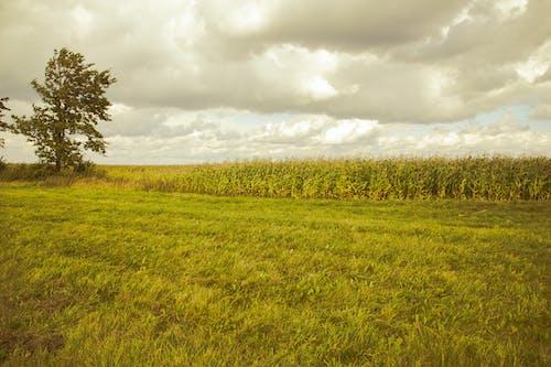 Ilmainen kuvapankkikuva tunnisteilla kenttä, kesä, luonto, maissi