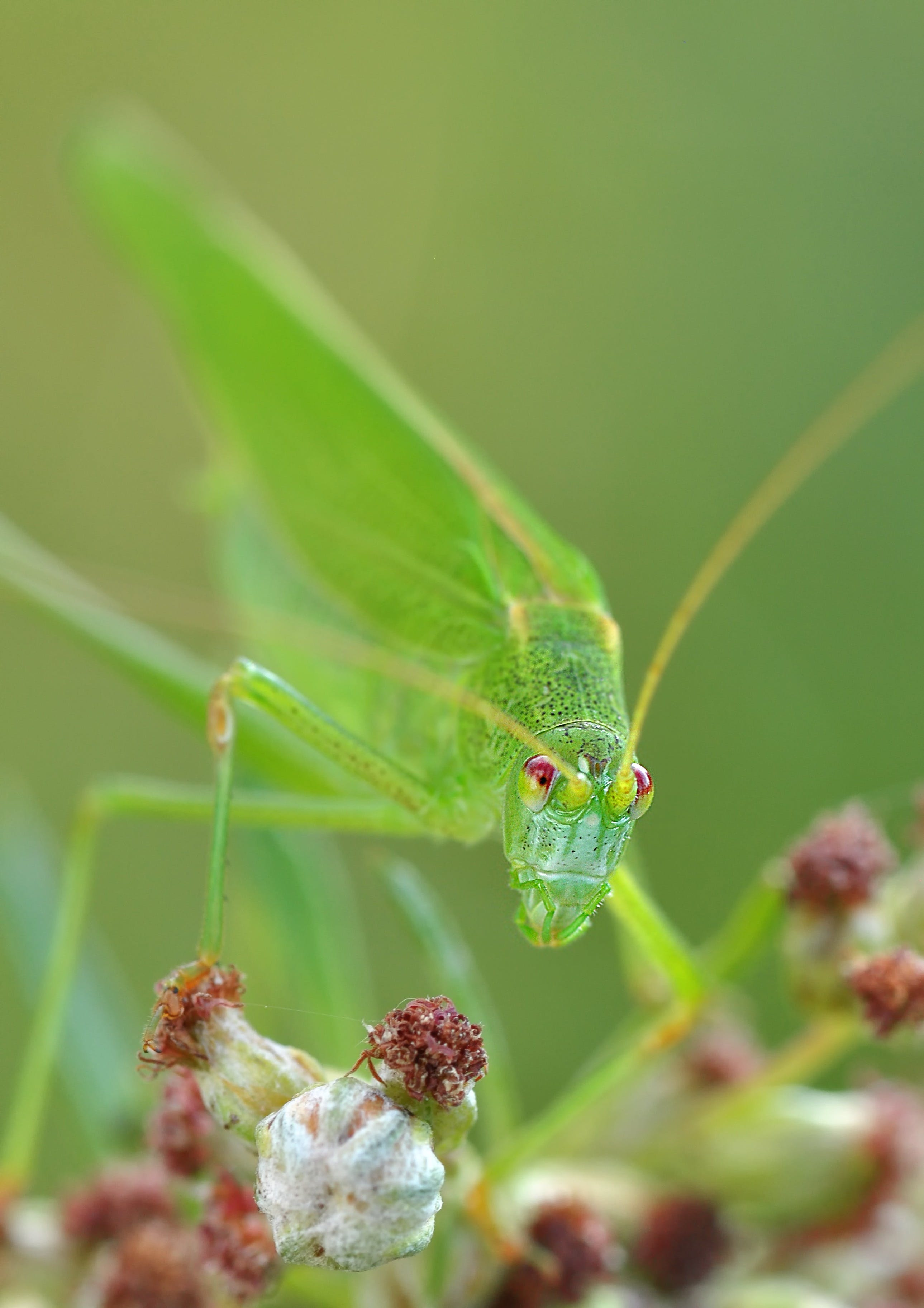Green Grasshopper Macro Photography