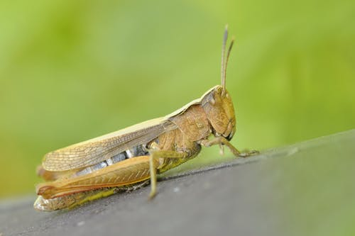 Green and Brown Grasshopper