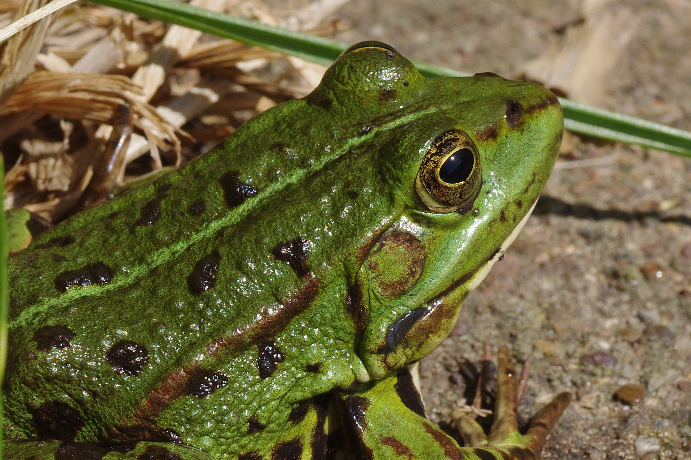 Green Frog Focus Photography