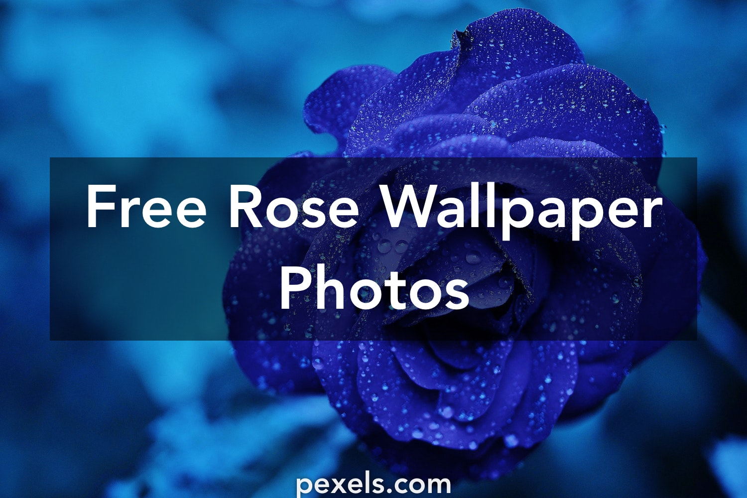 rose wallpapers pexels free stock photos