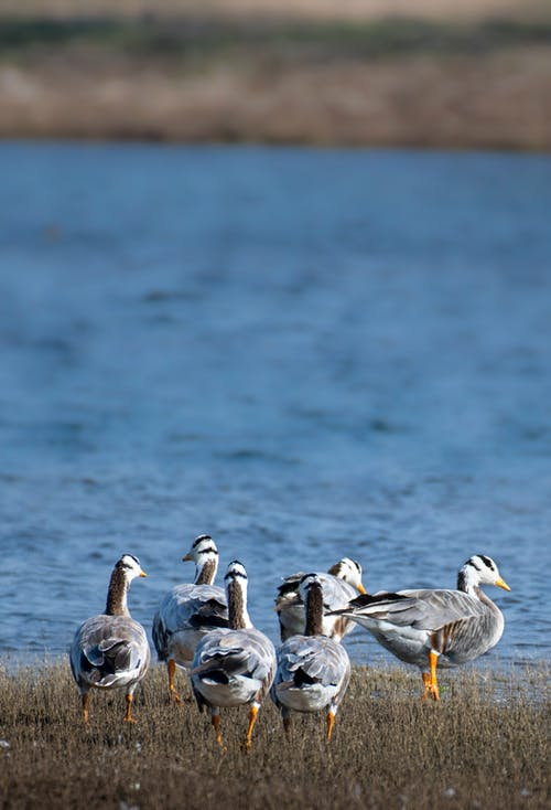 Flock of wild bar headed geese grazing on grassy ground of pond in nature