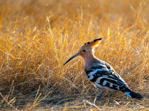 Side view of hoopoe bird with striped black and white plumage of wings and tail in grass