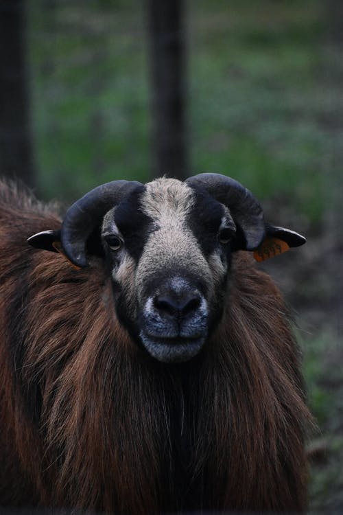 Brown and Black Ram on Green Grass Field