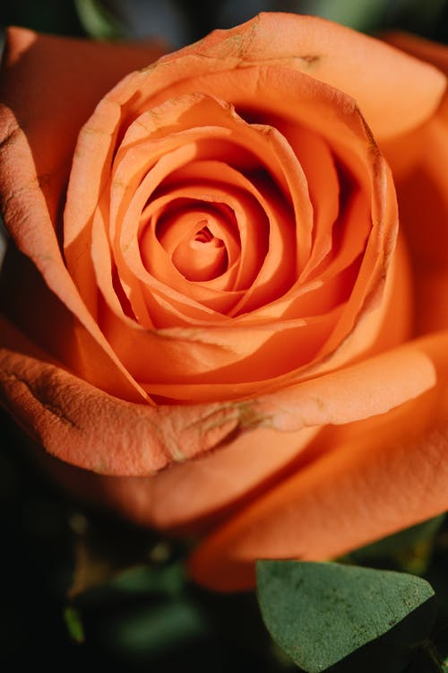 From above of fresh orange rose with delicate petals and verdant leaves in daylight
