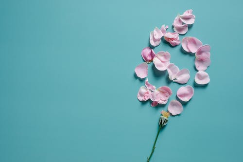 Top view of delicate petals of flower scattered under stem on blue background