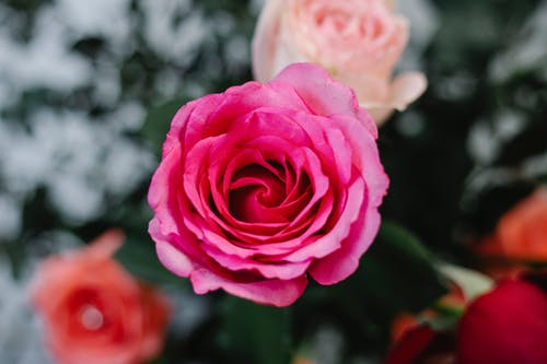 Top view of blooming rose bud with pink petals growing on shrub with colorful flowers in garden on blurred background