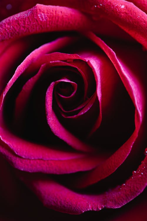 Red rose bud with gentle petals