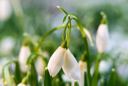 Free stock photo of flower, snowdrop, winter
