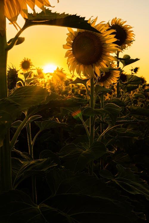 คลังภาพถ่ายฟรี ของ flor, girassois, girassol