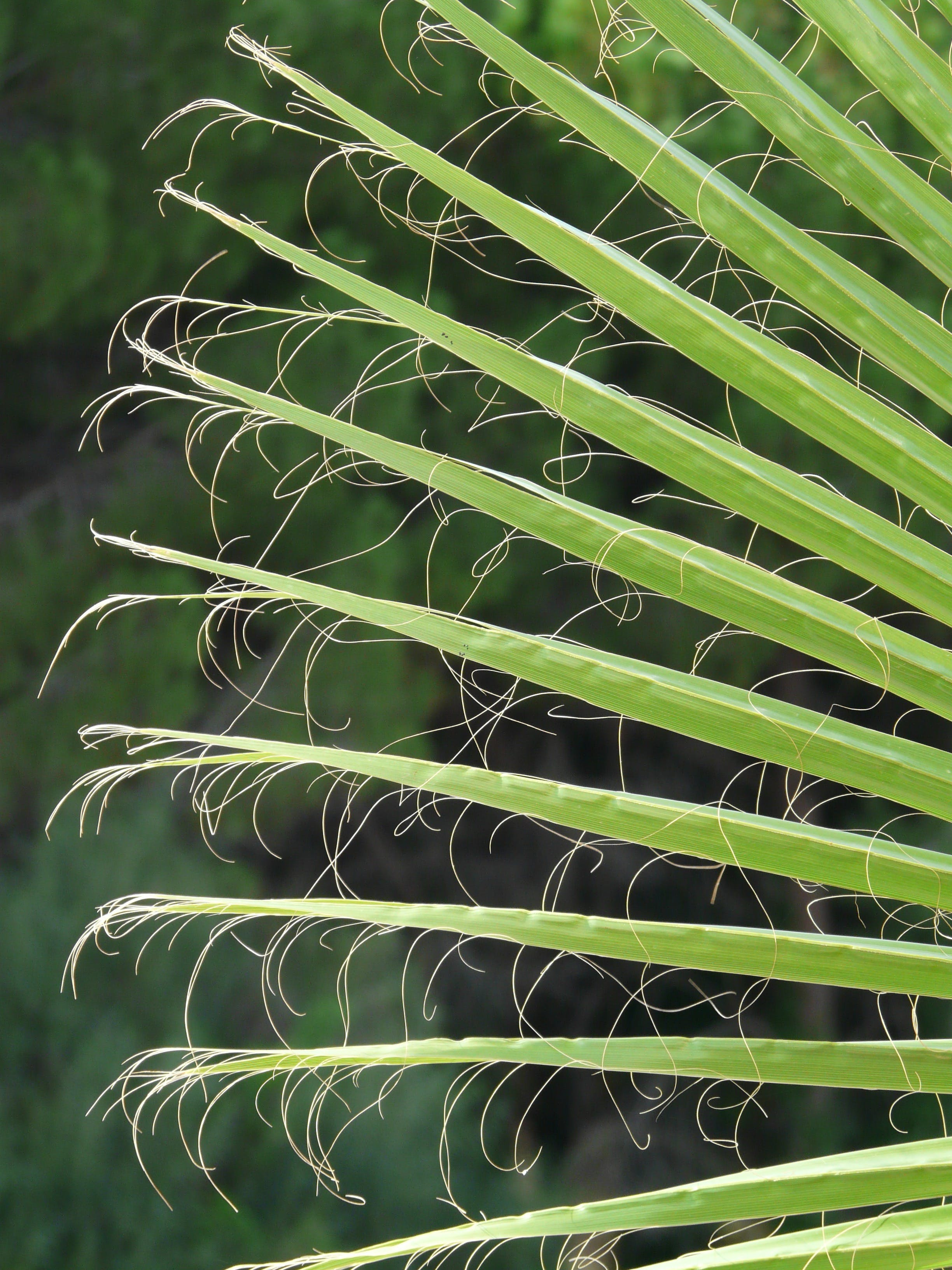 arecaceae, blur, close-up