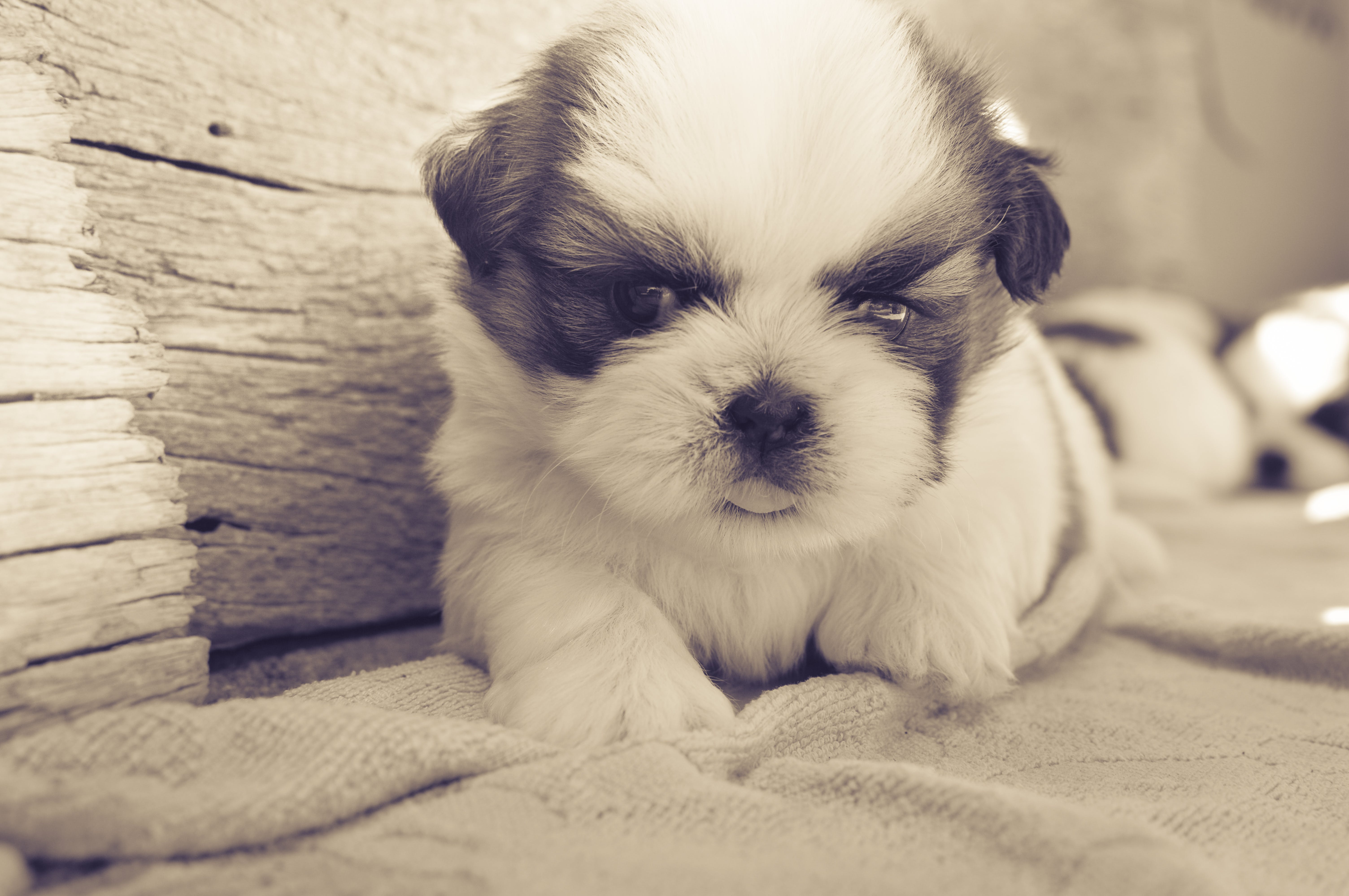 White and Black Fur Puppy on Gray Blanket