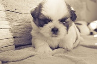 black-and-white, dog, pet