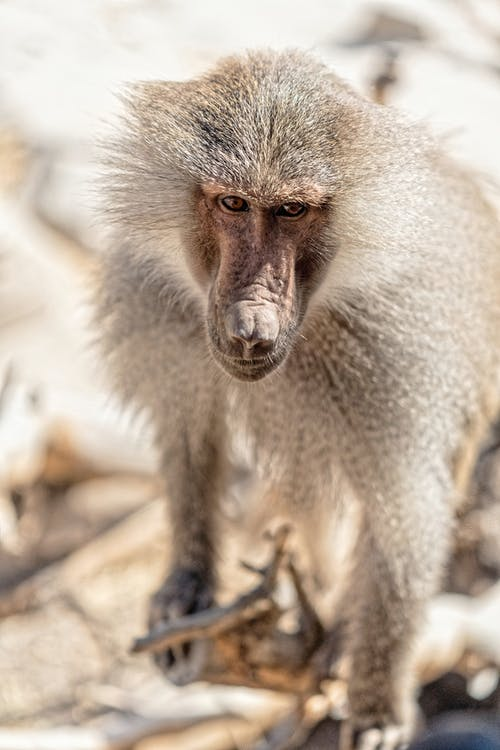 Close up Photo of a Baboon