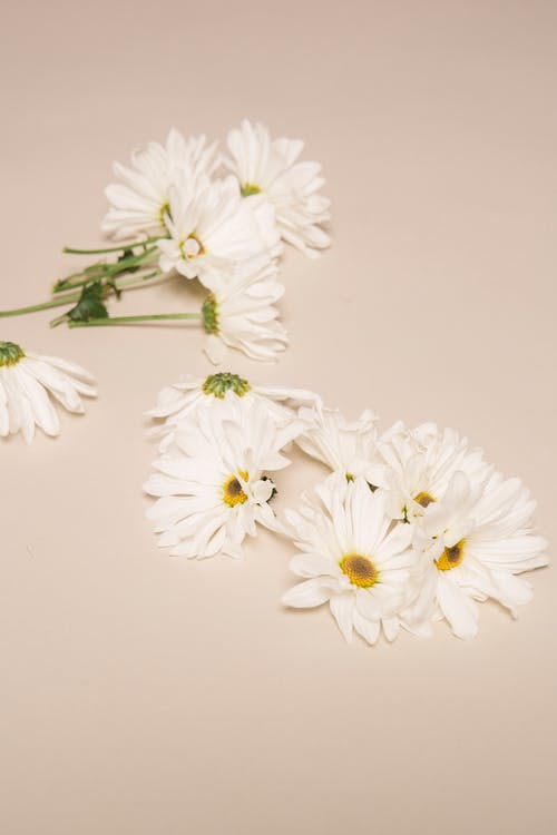 High angle of aromatic chamomiles with white gentle petals and yellow pestles placed on beige background