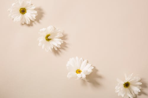 From above of tender fresh chamomile flower heads placed on beige surface in light studio