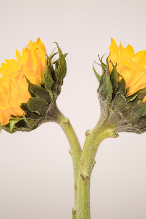 Bright yellow fresh blooming flowers with thick green stems