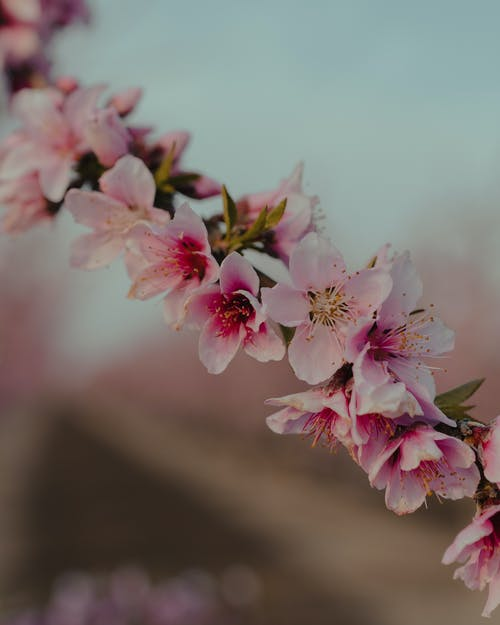 Blossoming fragrant Sakura tree with pink tender flowers growing in blurred spring garden