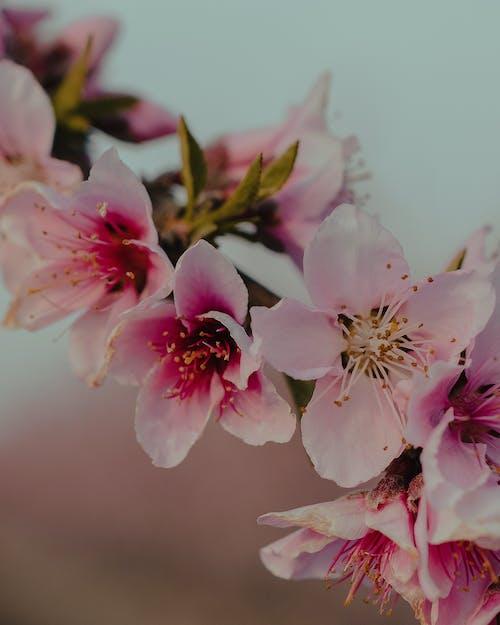 Blooming pink flowers on Sakura tree in garden