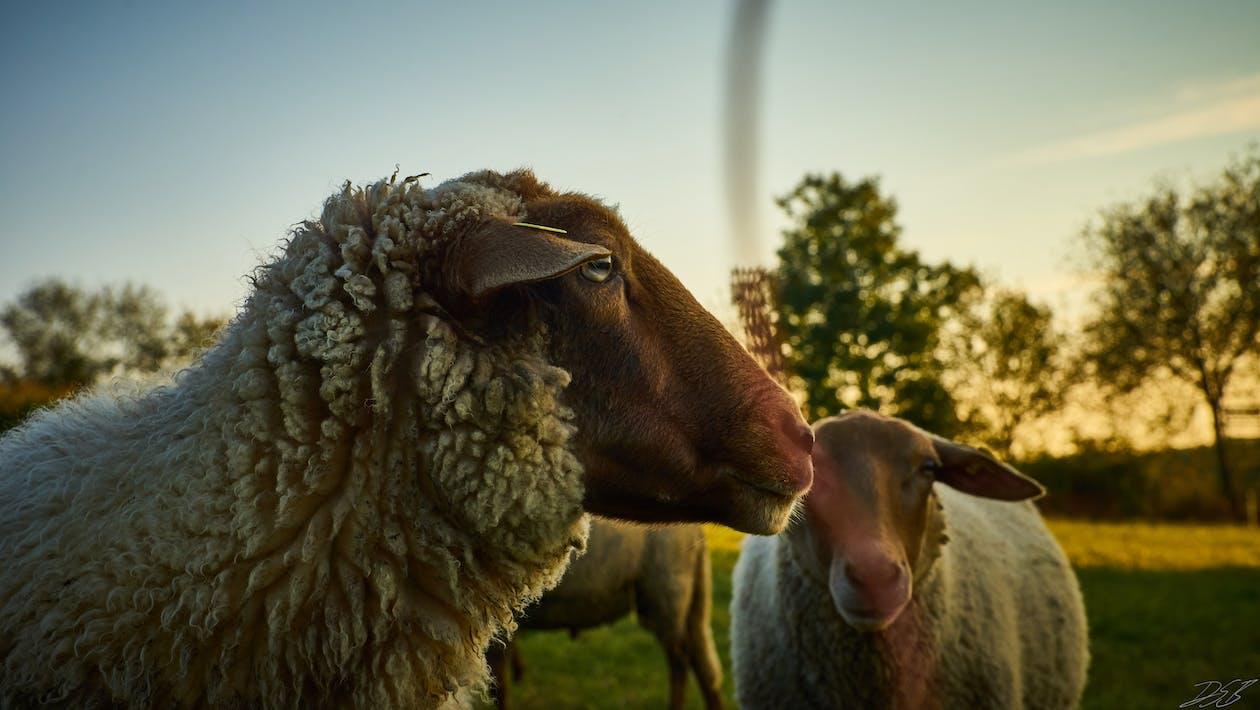 Fotobanka sbezplatnými fotkami na tému HD tapeta, ovca, pozadia pracovnej plochy