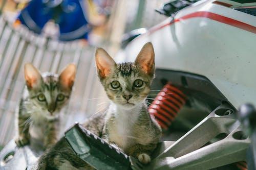 Gratis lagerfoto af close-up, hjemlig, kat, killinger
