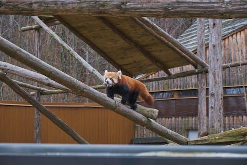 Cute Red Panda walking on Wooden Log