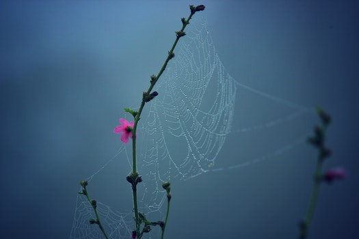 Spider Web on Pink Multi Petaled Flower