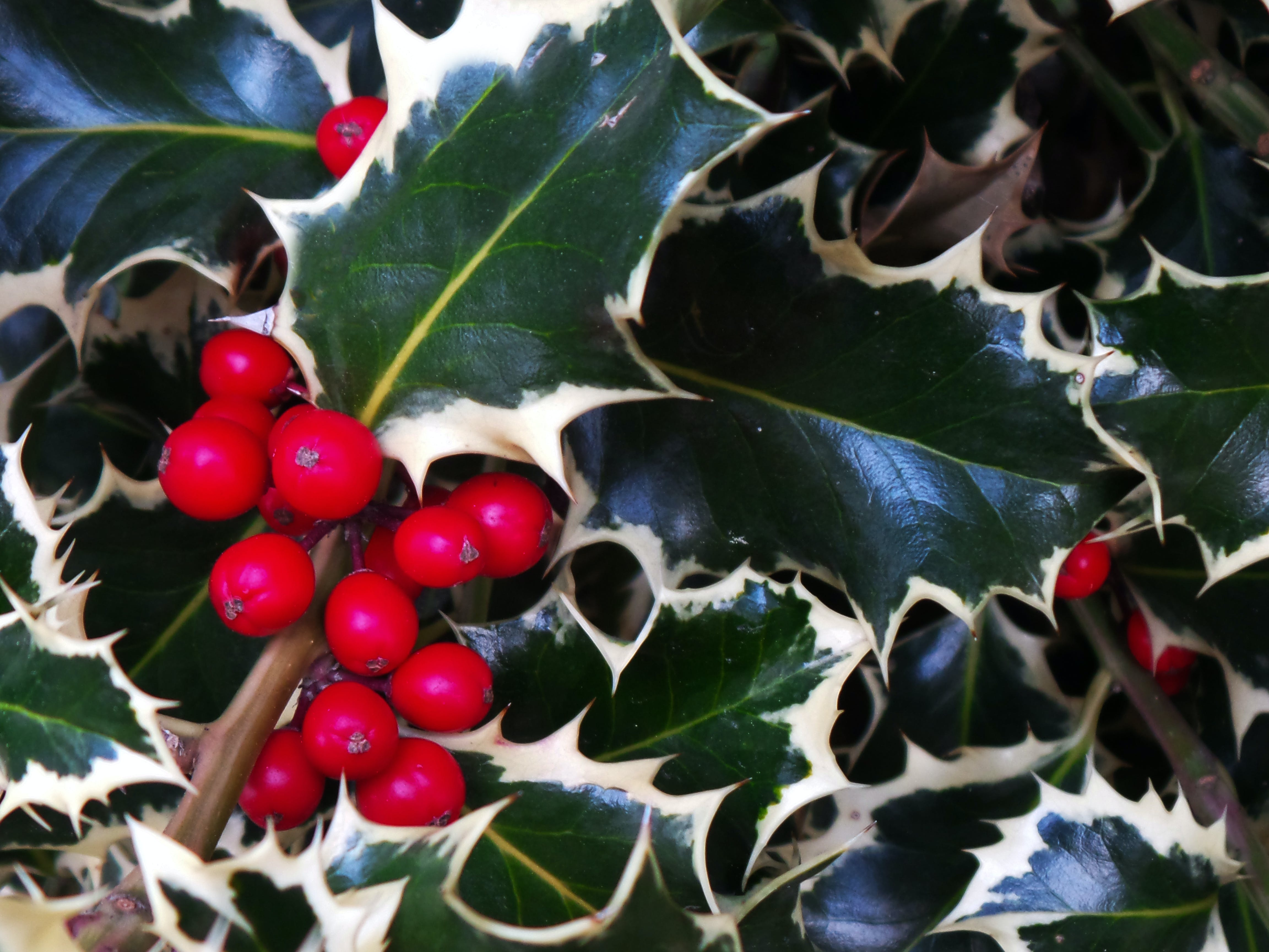 Free stock photo of plants, decoration, christmas, berries