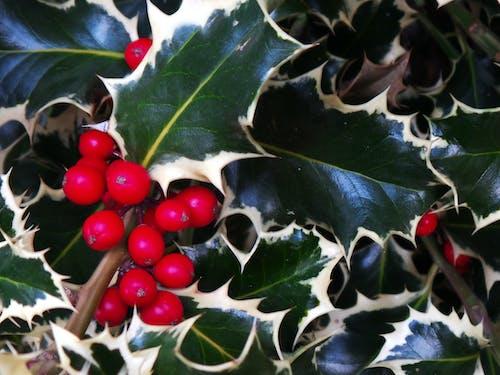 Free stock photo of berries, christmas, christmas decoration, plants