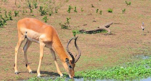 Free stock photo of safari, Thirsty wild animal, water, wild