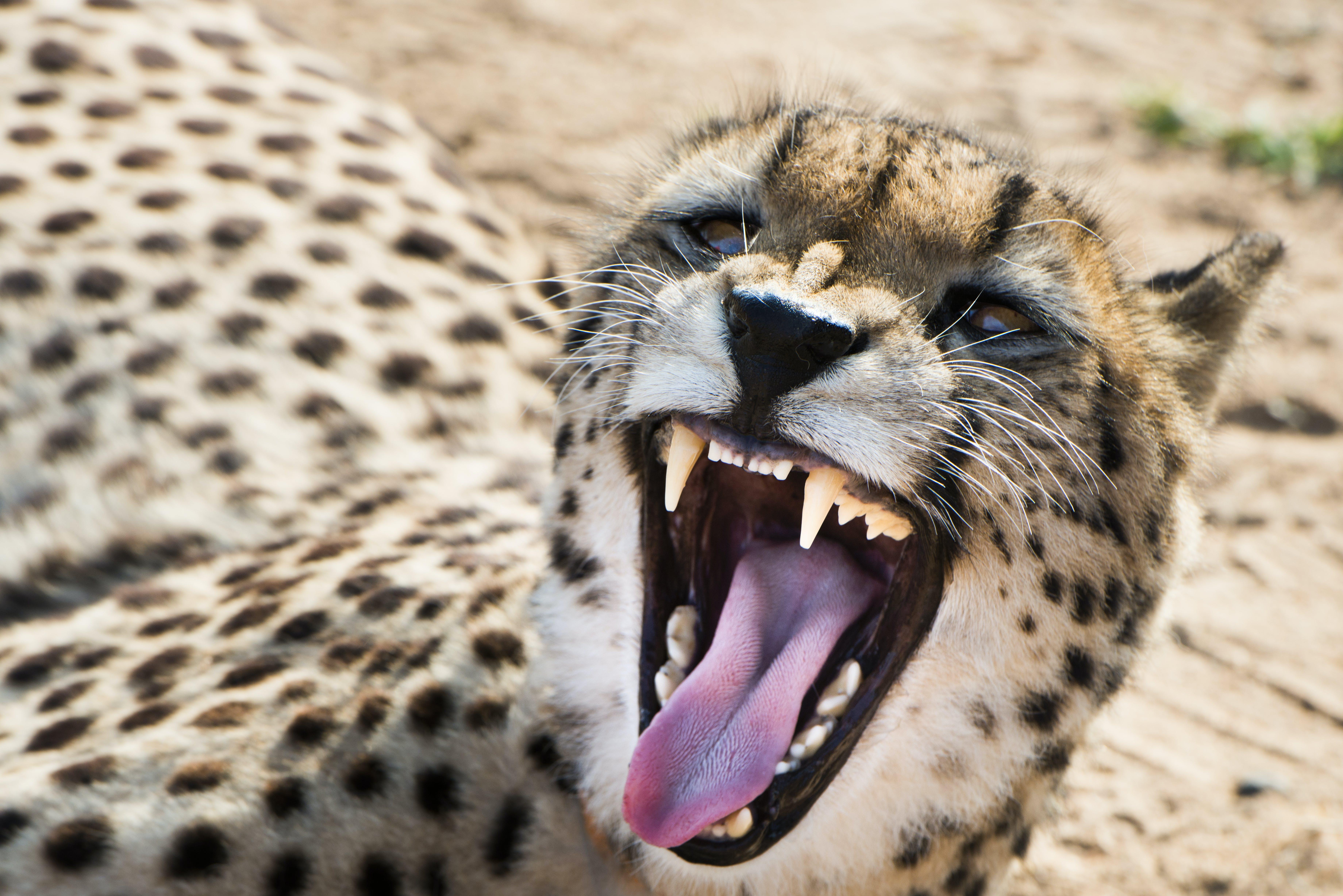 Free stock photo of animal, cheetah, growl, safari