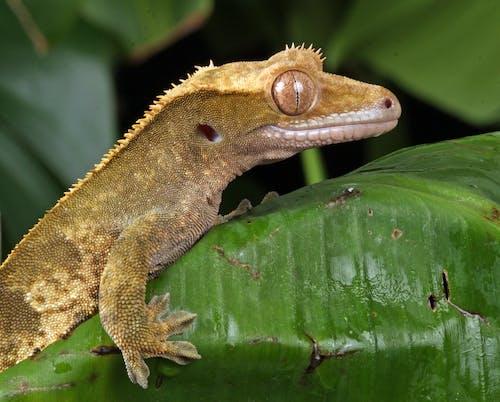 Imagine de stoc gratuită din fotografie de animale, fotografie de aproape, Gecko, natură