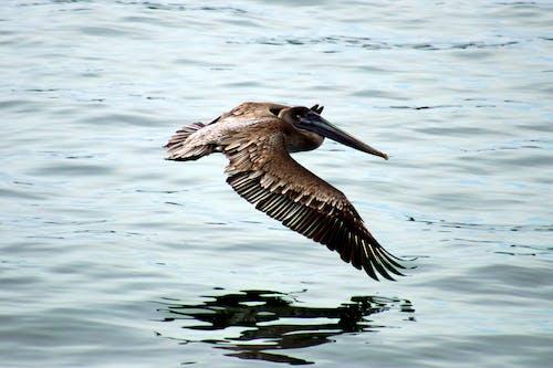 哥斯達黎加, 太平洋, 海鳥, 鵜鶘 的 免費圖庫相片