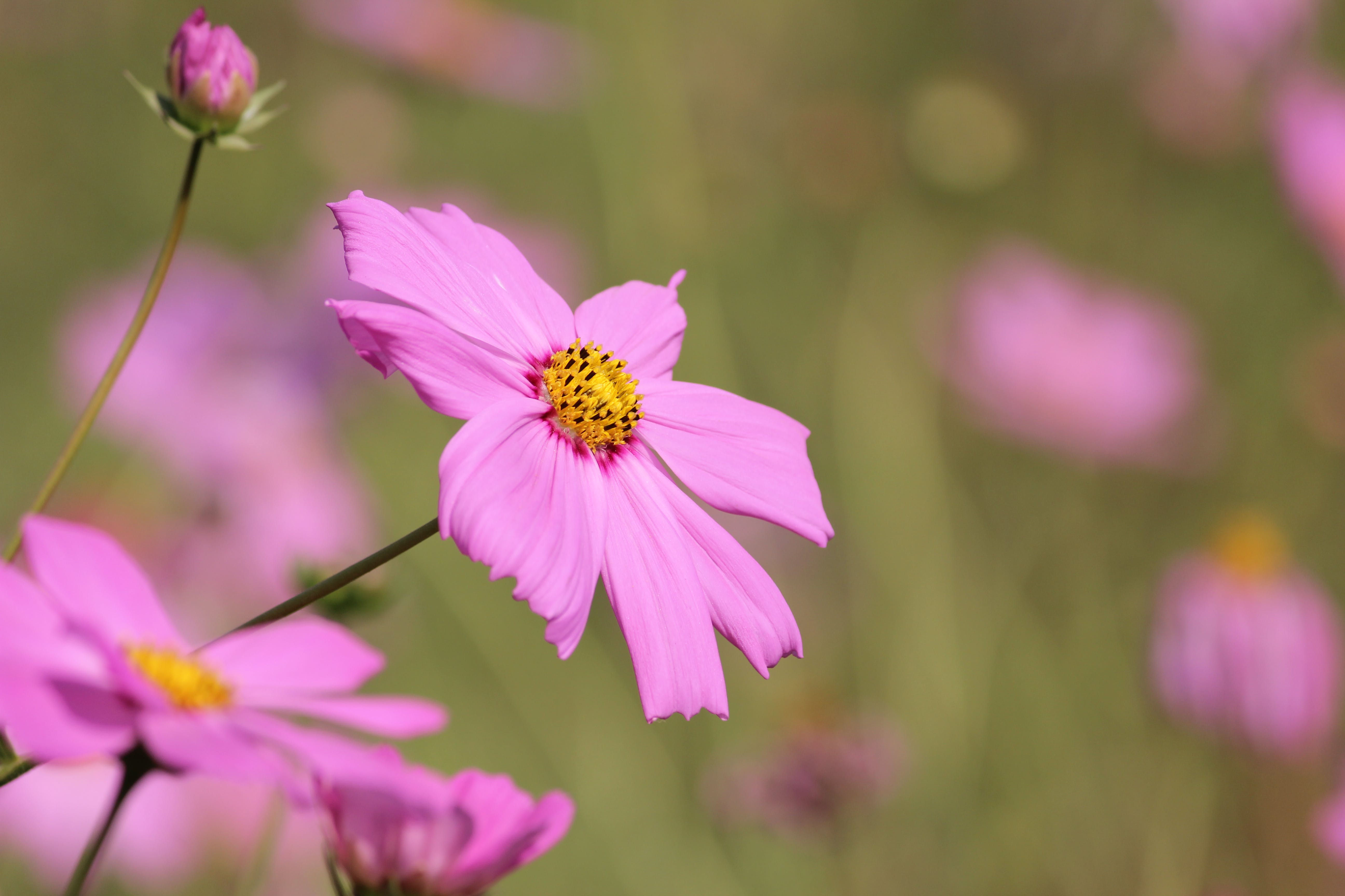 Pink Daisy Flower Selective Photography