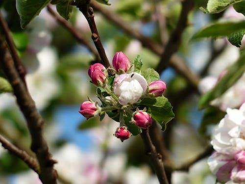 Fotobanka sbezplatnými fotkami na tému farby, flóra, jabloň, kvet ovocného stromu