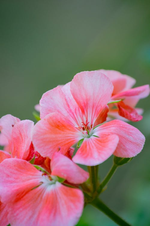 Closeup of delicate blooming pelargonium flowers with pink petals growing on green stem in forest on blurred background on summer day