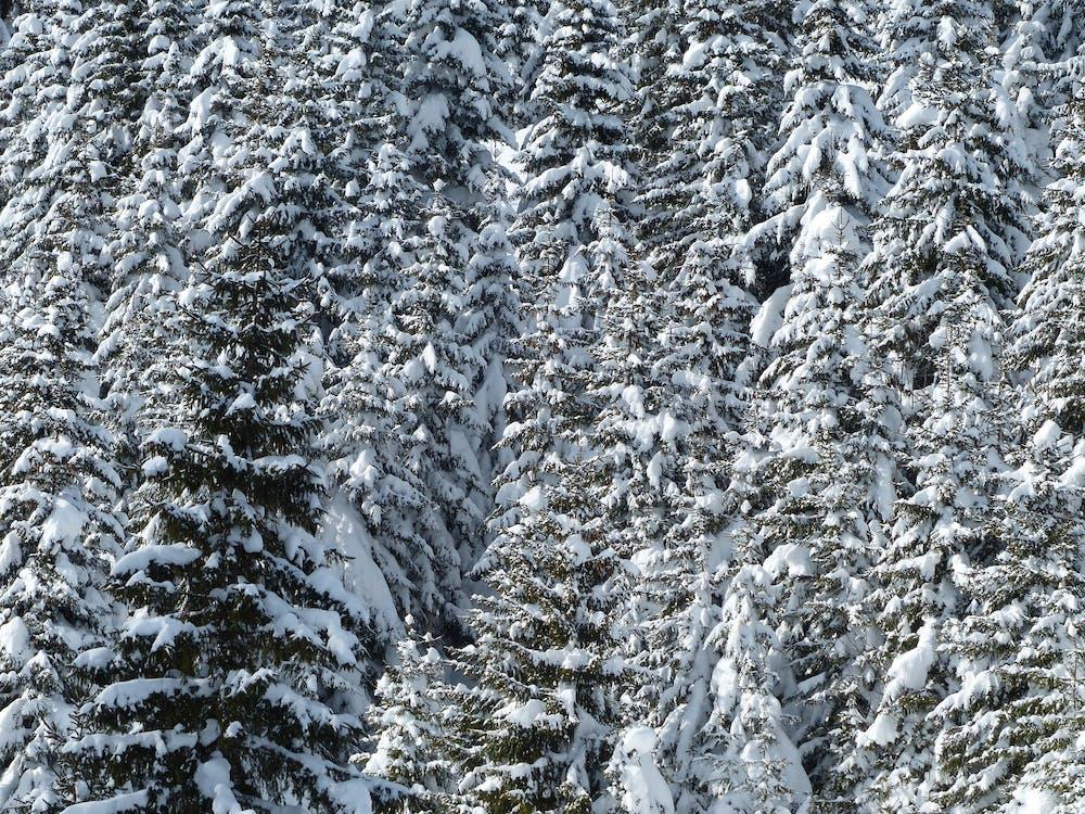 arbres, avets, hivern