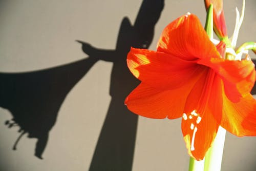 Δωρεάν στοκ φωτογραφιών με Αμαρυλλίς, όμορφα λουλούδια