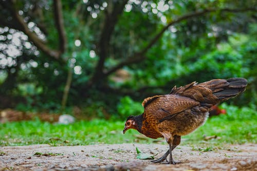 Red jungle fowl on rough terrain in countryside