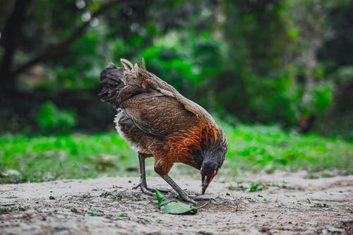 Red jungle fowl looking for food on terrain in farmyard