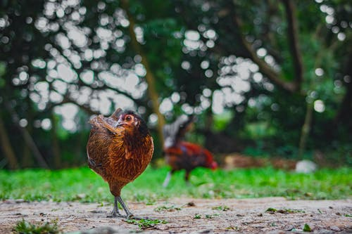 Domesticated tropical chicken with brown plumage strolling on rough terrain while looking at camera in farmyard on summer day