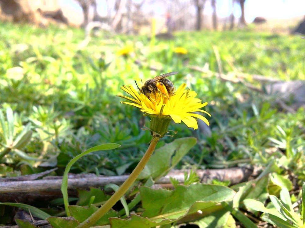 Free stock photo of flower, honey bee