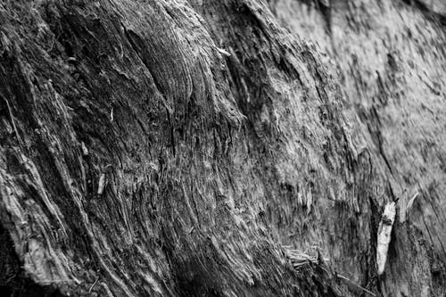 Black and white of closeup of trunk of aged dry tree in daylight